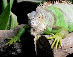 Green Iguana (Iguana iguana)
